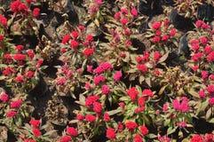 Flores vermelhas em um jardim Imagens de Stock