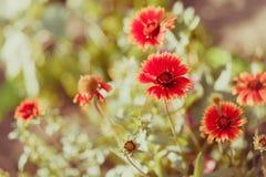 Flores vermelhas em um jardim do verão Fotos de Stock