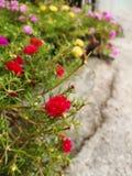 Flores vermelhas em uns potenciômetros da planta em assoalhos do cimento fotografia de stock