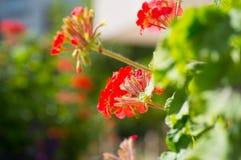 Flores vermelhas entre a folha fotos de stock