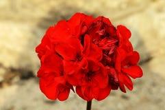 Flores vermelhas focalizadas Foto de Stock Royalty Free