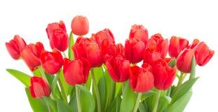 Flores vermelhas frescas do tulip Fotografia de Stock Royalty Free