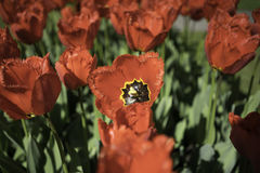 Flores vermelhas holandesas foto de stock