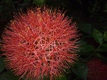 Flores vermelhas lindos Fotografia de Stock Royalty Free