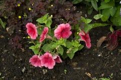 Flores vermelhas na terra marrom Imagem de Stock Royalty Free