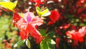 Flores vermelhas no outono yang que ming o parque de Shan imagens de stock