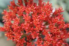 Flores vermelhas pequenas Foto de Stock