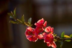 Flores vermelhas sob a luz solar Imagem de Stock