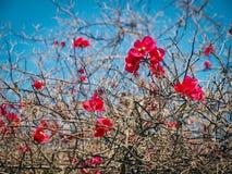 Flores vermelhas vívidas em ramos despidos imagem de stock royalty free