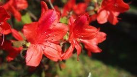 Flores vermelhas yang da flor que ming o parque de Shan foto de stock