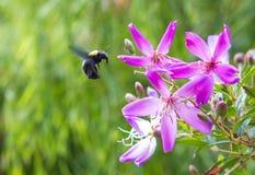 Flores vibrantes con el vuelo de la abeja Fotografía de archivo libre de regalías