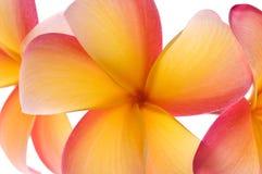 Flores vibrantes do frangipani Foto de Stock Royalty Free