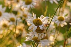 Flores viejas de la margarita de ojo de buey Fotografía de archivo libre de regalías