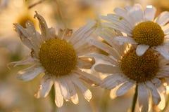 Flores viejas de la margarita de ojo de buey Foto de archivo libre de regalías