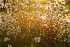 Flores viejas de la margarita de ojo de buey Foto de archivo