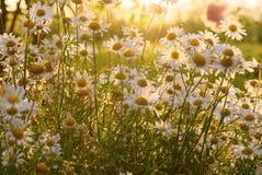 Flores viejas de la margarita de ojo de buey Imagen de archivo