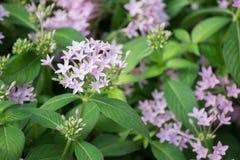 Flores violetas Fotos de Stock Royalty Free