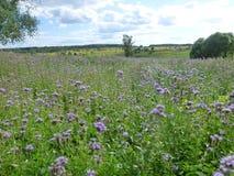 Flores violetas Imagens de Stock Royalty Free