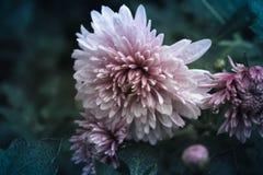 Flores violetas Imagen de archivo libre de regalías