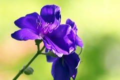 Flores violetas Fotografía de archivo libre de regalías