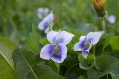 Flores violetas Fotografia de Stock Royalty Free