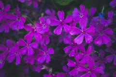 Flores violetas imágenes de archivo libres de regalías