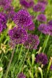 Flores violetas abstractas en campo Imagen de archivo libre de regalías