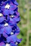Flores violetas abstratas no campo Fotos de Stock