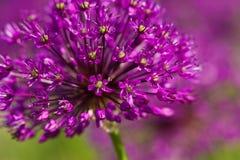 Flores violetas abstratas no campo Imagens de Stock Royalty Free