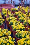 Flores violetas amarelas em uns vasos Imagem de Stock Royalty Free