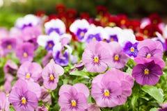 Flores violetas bonitas Fotografia de Stock Royalty Free