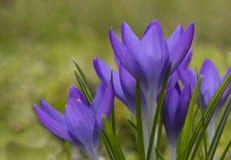 Flores violetas bonitas dos açafrões Mola adiantada, close-up imagem de stock