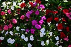 Flores violetas, brancas e vermelhas em um arbusto com folhas verdes Fundo da natureza Luz de Sun, dia ensolarado fotos de stock royalty free