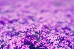 Flores violetas brillantes Imagen de archivo libre de regalías