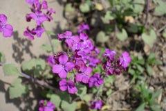 Flores violetas brillantes del annua del Lunaria en primavera Fotos de archivo