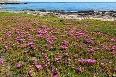 Flores violetas brillantes en la playa en la isla de Favignana en Sicilia Imagenes de archivo