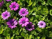 Flores violetas com fundo verde das folhas Fotos de Stock Royalty Free