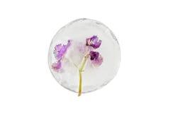 Flores violetas congeladas no gelo Fotografia de Stock