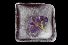 Flores violetas congeladas no gelo Imagem de Stock