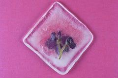 Flores violetas congeladas no gelo Fotos de Stock Royalty Free