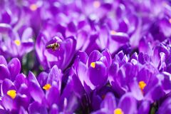 Flores violetas cor-de-rosa de florescência dos açafrões e abelha de voo no fundo obscuro macio Cena da natureza do dia ensolarad Fotografia de Stock
