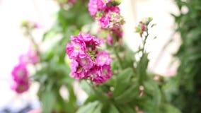 Flores violetas cor-de-rosa de florescência no jardim - viola cor-de-rosa video estoque