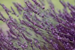 Flores violetas da alfazema na flor fotos de stock royalty free