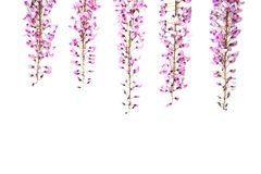 Flores violetas da glic?nia no fundo branco fotografia de stock royalty free