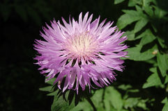 Flores violetas da mola Fotografia de Stock