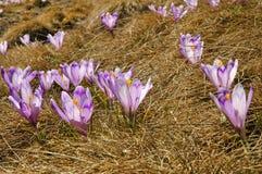 Flores violetas da mola do açafrão no prado Fotografia de Stock Royalty Free
