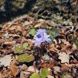 Flores violetas da mola nas madeiras Fotos de Stock Royalty Free