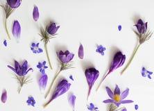 Flores violetas da mola no fundo branco Imagem de Stock Royalty Free