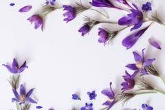 Flores violetas da mola no fundo branco Fotografia de Stock Royalty Free