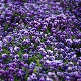 Flores violetas da viola Fotografia de Stock Royalty Free